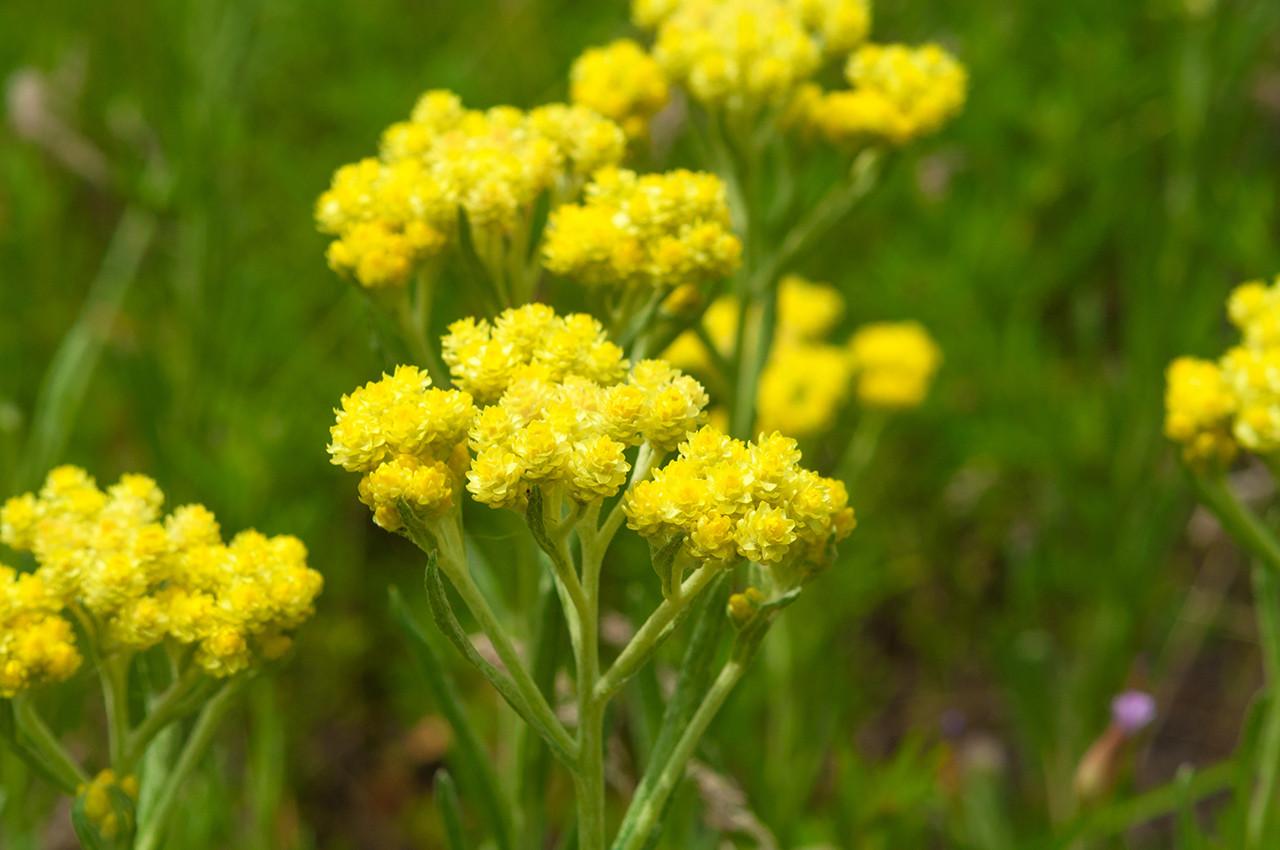 Helichrysum Pure Plant Essential Oil by Grampa's Garden