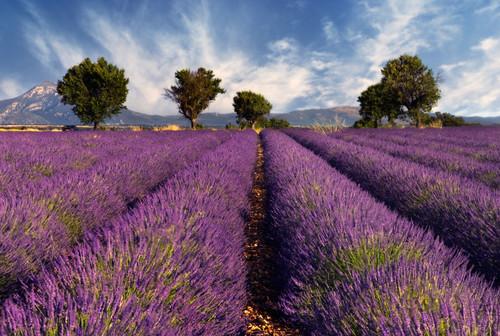 Lavender - Lavandula angustifolia