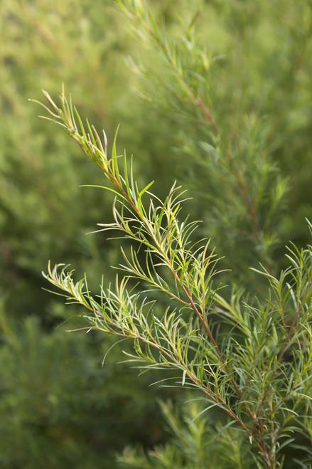 Tea Tree - Melaleuca alternifolia