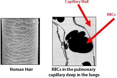 human-hair-and-rbc2.jpg