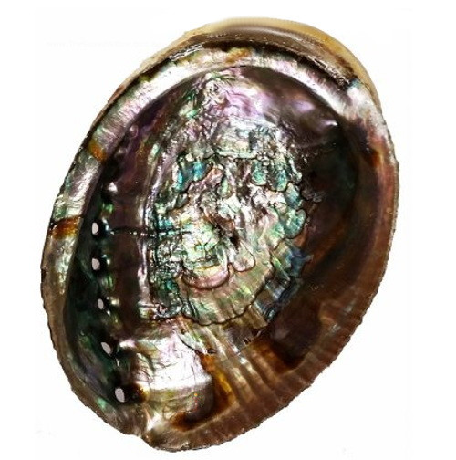 Abalone Shell Small 12cm