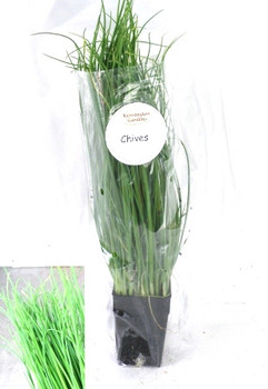Chives - Living Herbs