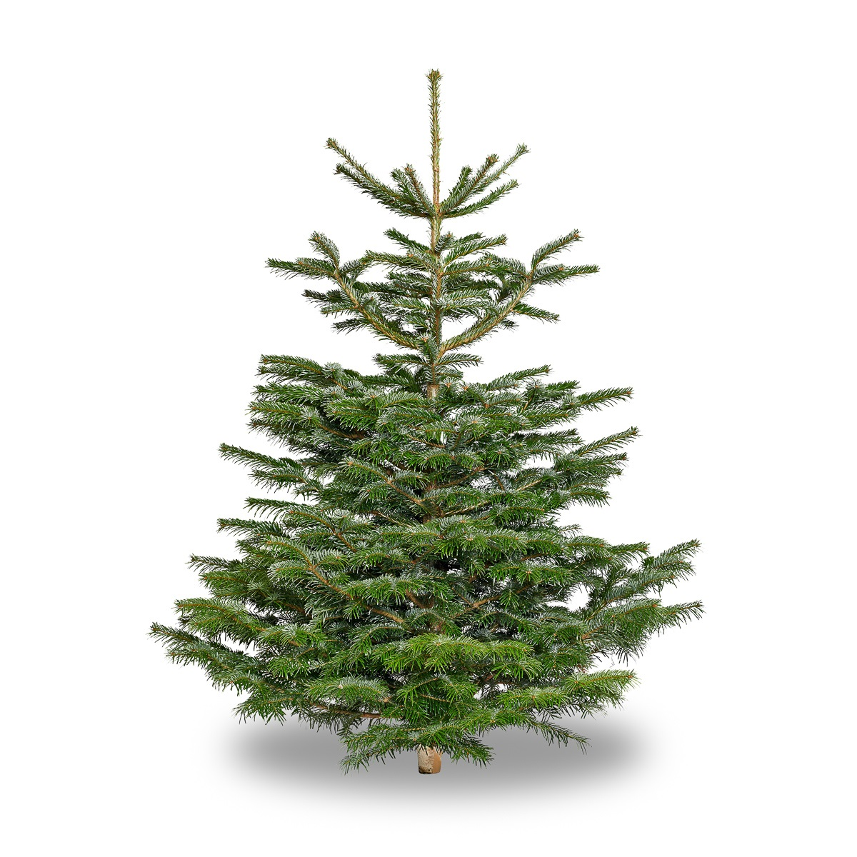 Nordmann Fir Christmas Trees 7ft