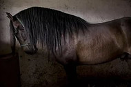 Spain's Legendary intelligent and affectionate Andalusians going to slaughter