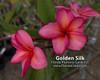Golden Silk Plumeria