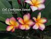 Col's Cooktown Sunset Plumeria