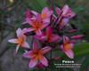 Peace aka Loi Kratong Plumeria