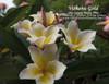 Vishanu Gold Plumeria
