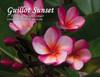 Guillot Sunset Plumeria