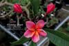 Flaming Heart Plumeria