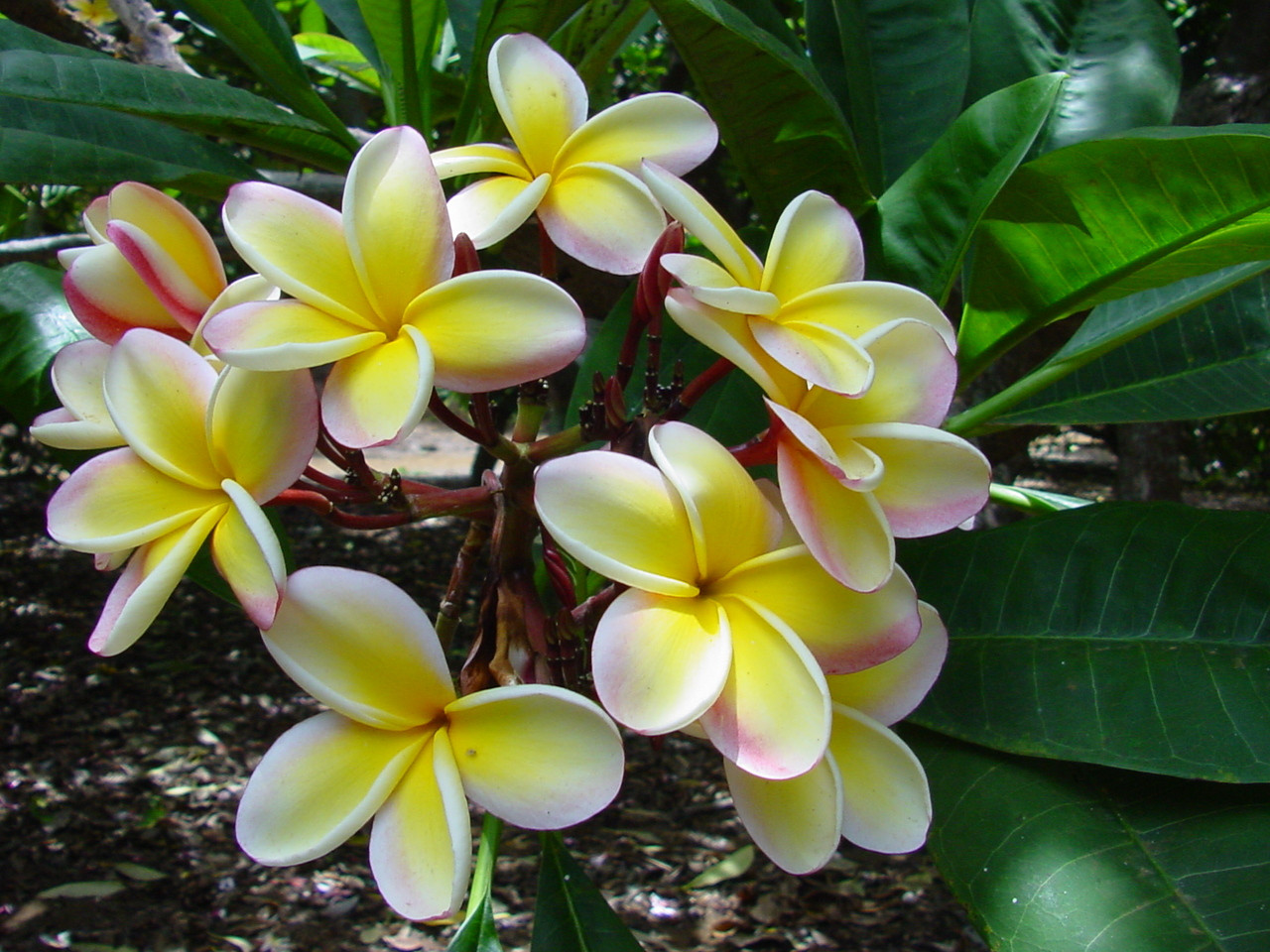 Lei rainbow plumeria plumeria by florida colors nursery lei rainbow plumeria izmirmasajfo
