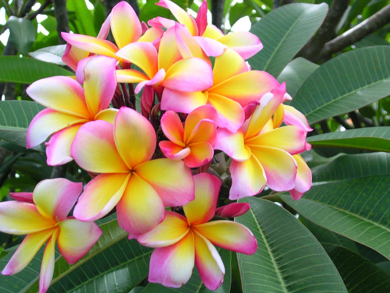Aussie confetti plumeria plumeria by florida colors nursery aussie confetti plumeria izmirmasajfo