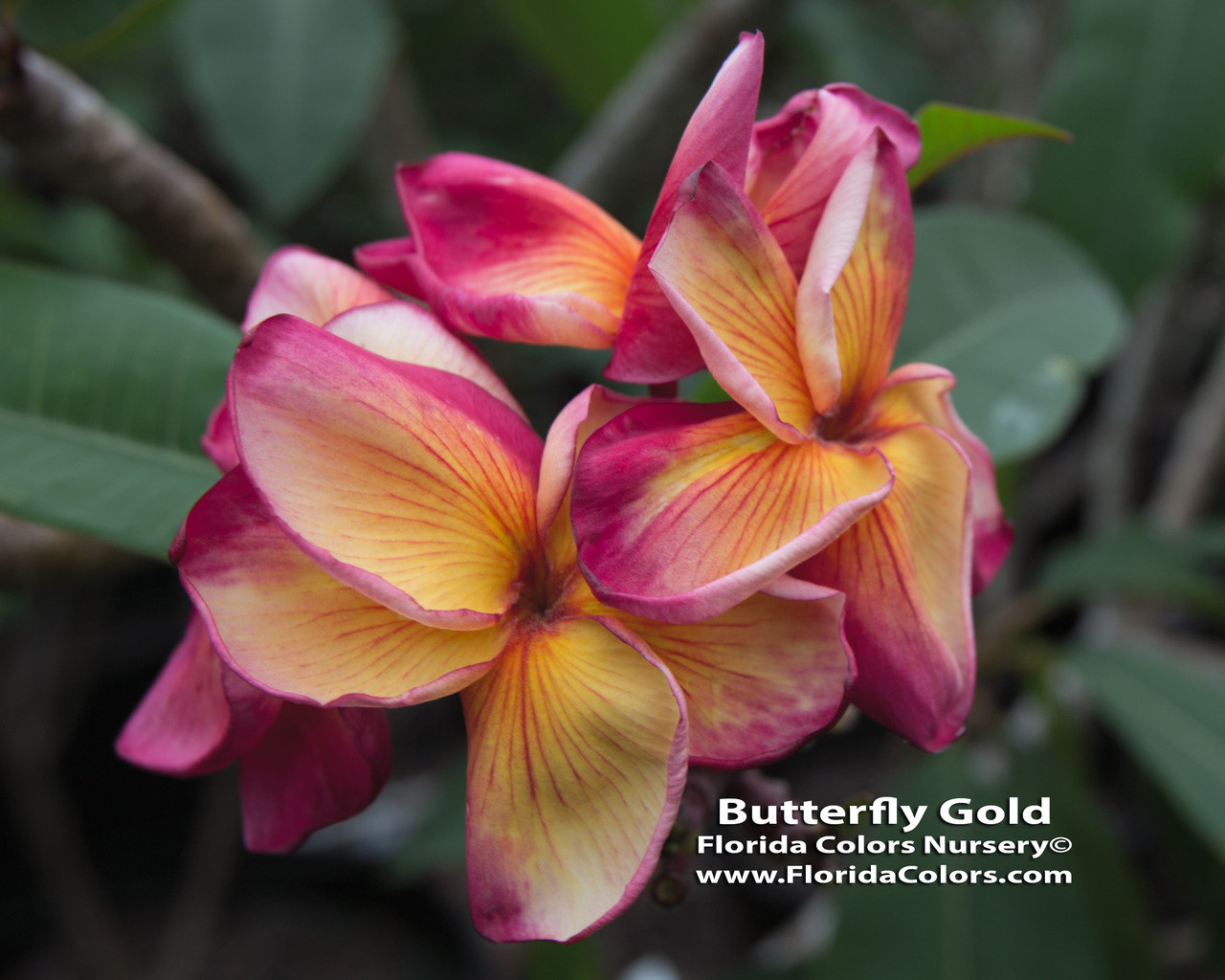 Butterfly Gold Plumeria - Plumeria by Florida Colors Nursery