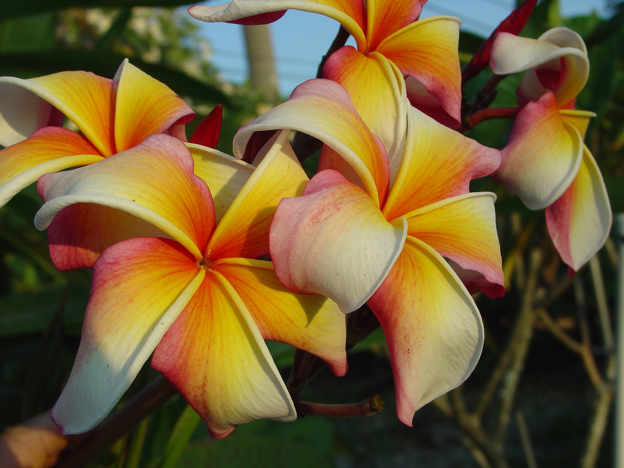 Hawaiian Flag Plumeria Plumeria By Florida Colors Nursery
