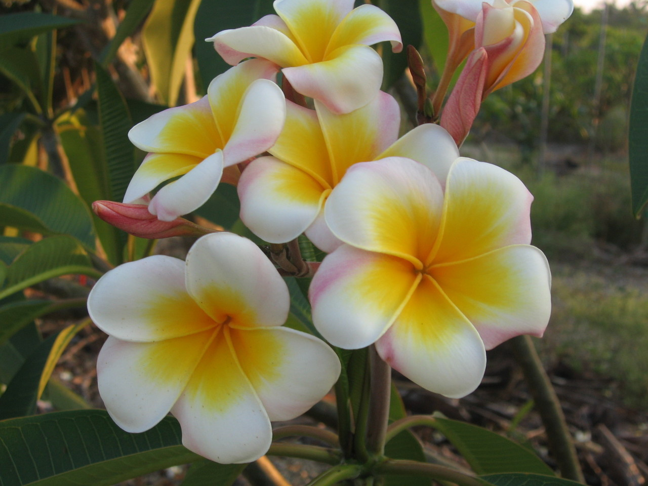 Lucs Gold Cup Plumeria Plumeria By Florida Colors Nursery