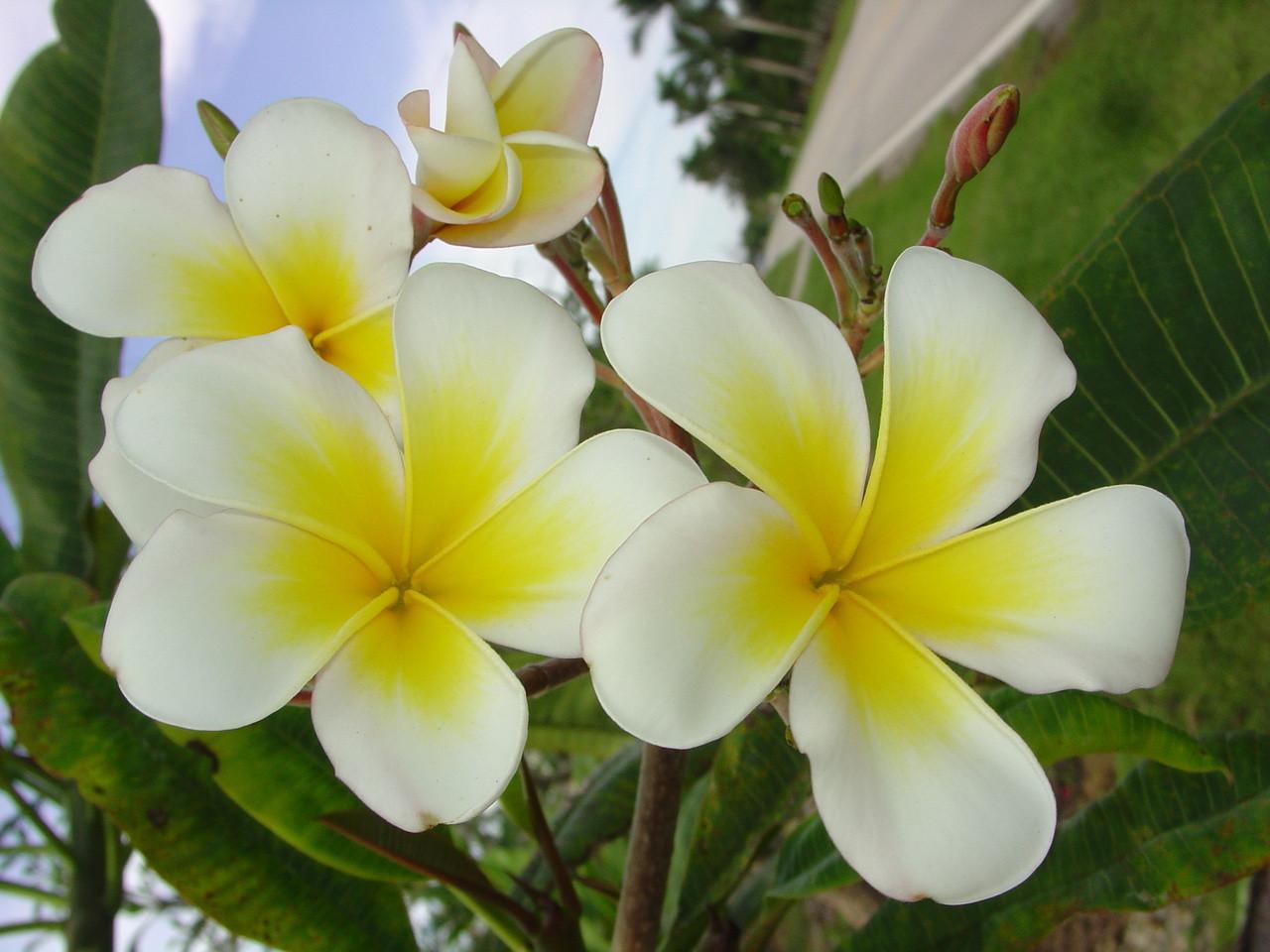 Lucs Gold Cup Plumeria Plumeria By Florida Colors Nursery