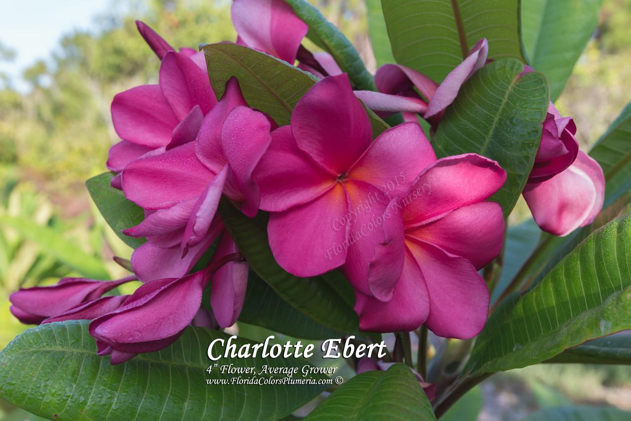 Charlotte Ebert Plumeria Plumeria By Florida Colors Nursery