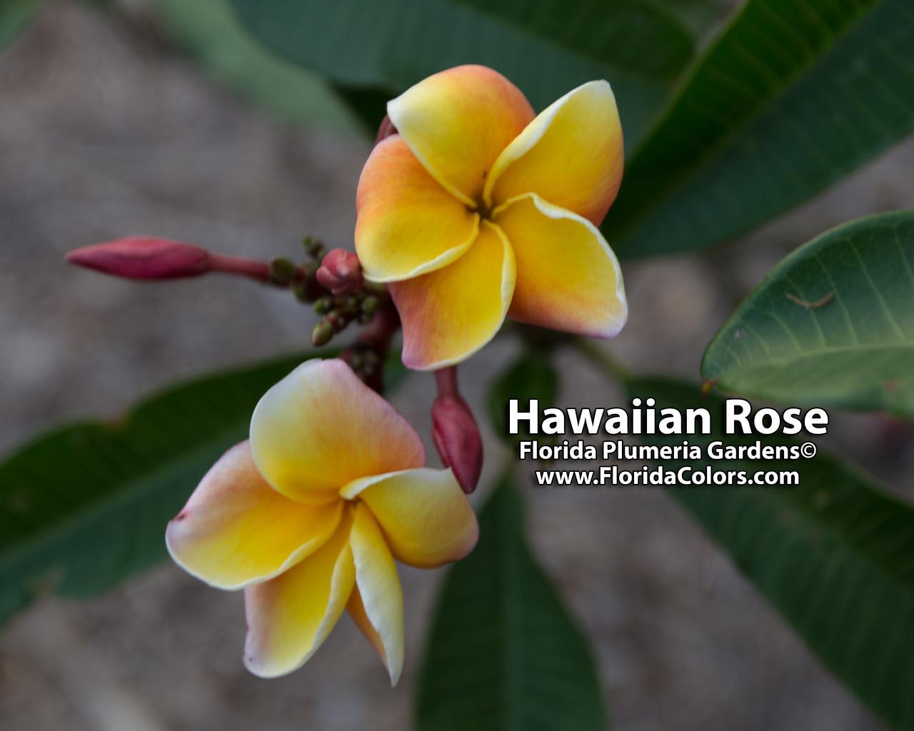 Hawaiian rose plumeria plumeria by florida colors nursery hawaiian rose plumeria izmirmasajfo