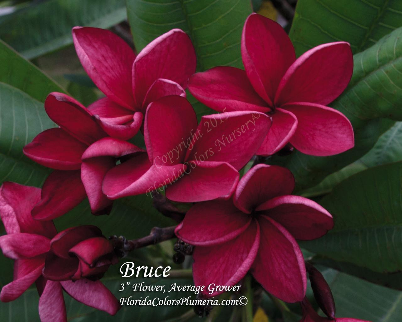 Bruce Plumeria - Plumeria by Florida Colors Nursery