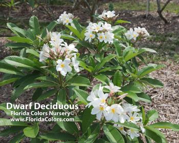 Dwarf Deciduous Plumeria