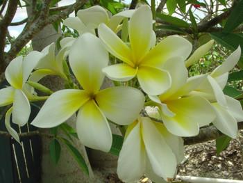 Sherman aka Polynesian White Plumeria