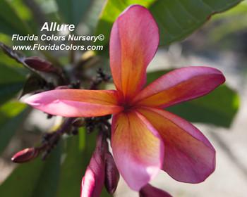 Allure Plumeria