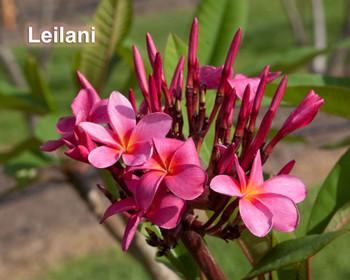 Leilani Plumeria