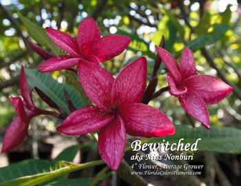 Bewitched aka Miss Nonburi Plumeria