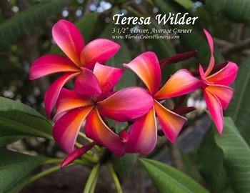 Teresa Wilder Plumeria