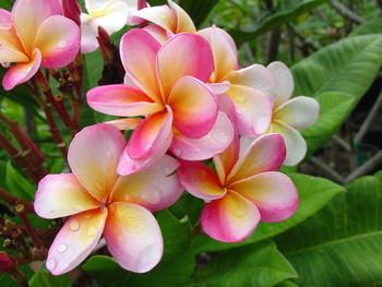 Vanda Ruffles Plumeria