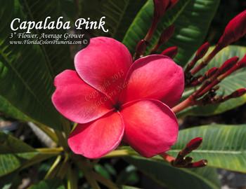 Capalaba Pink aka Australia Plumeria