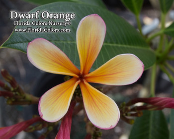 Dwarf Orange Plumeria