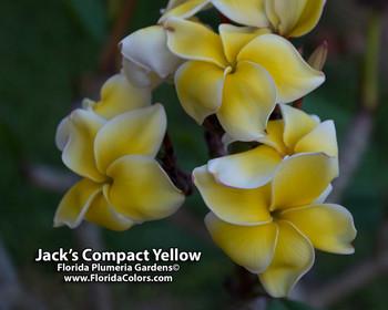 Jack's Compact Yellow Plumeria