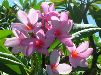 Lilac Mist Plumeria