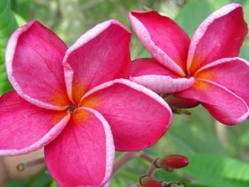 Kaneohe Sunset Plumeria