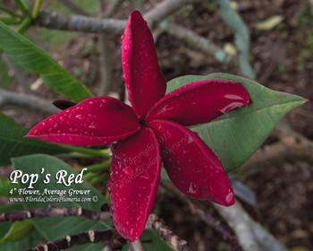 Pops Red Plumeria