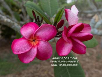 Suzanne Saint Amour Plumeria