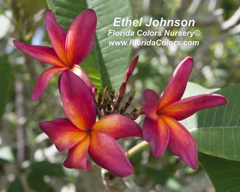Ethel Johnson Plumeria