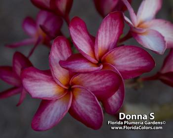 Donna S Plumeria