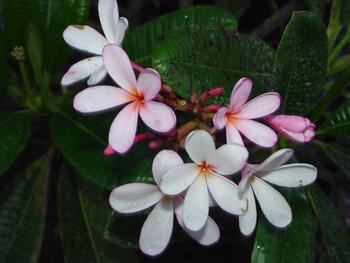 Dwarf Singapore Pink Plumeria