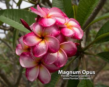 Luc's Magnum Opus Plumeria