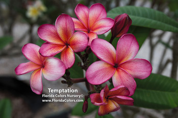 PC 33 aka Temptation Plumeria
