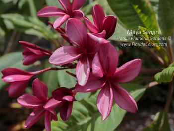 Maya Sangre Plumeria