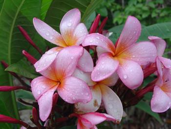 Ana Rosa Plumeria