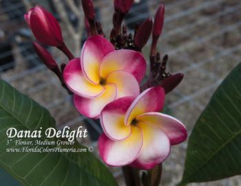 Danai Delight Plumeria