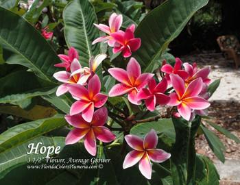 Hope Plumeria