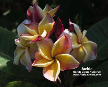 Jackie Plumeria