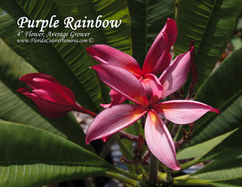 Purple Rainbow Plumeria