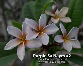 Purple Sa Neym aka Siam Lavender Plumeria