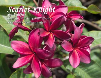 Scarlet Knight aka Wildfire Plumeria